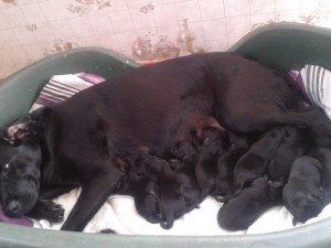 lab puppies for sale in Lincolsnhire
